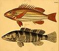 Naturgeschichte in Bildern mit erläuterndem Text (Taf. LXXX) (6059218148).jpg