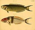 Naturgeschichte in Bildern mit erläuterndem Text (Taf. XCV) (6059221548).jpg