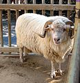 Navajo Churro Sheep.jpg
