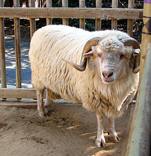 A white sheep with long wool locks and long, curved horns.