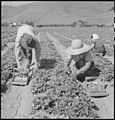 Near Mission San Jose, California. This family of Japanese ancestry have but a few days to work in . . . - NARA - 536443.jpg