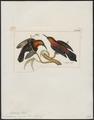 Nectarinia cuprea - 1820-1860 - Print - Iconographia Zoologica - Special Collections University of Amsterdam - UBA01 IZ19000091.tif