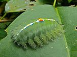 Nettle Caterpillar (Thosea vetusta) (6761408131).jpg