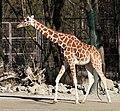 Netzgiraffe (Giraffa camelopardalis reticulata) Tierpark Hellabrunn-28.jpg