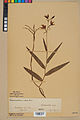 Neuchâtel Herbarium - Cephalanthera rubra - NEU000046839.jpg