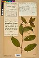 Neuchâtel Herbarium - Impatiens noli-tangere - NEU000019951.jpg