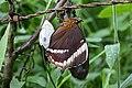 Newly hatched Siproeta epaphus (Nymphalidae- Nymphalinae- Victoriniini) (29685256701).jpg