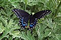 Niagara-Falls ON - Black Swallowtail - Papilio polyxenes 2015-08-13.jpg
