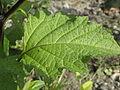 Nicandra physaloides RH (10).jpg