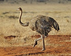 North African Ostrich - Masai Ostrich - female non-breeding (Struthio camelus) - Flickr - Lip Kee (1).jpg