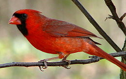 Northern Cardinal Male-27527-4