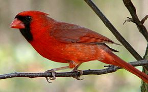 Cardenal del nord mascle