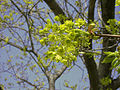 Norway Maple flowers (SC woodlot) 2.jpg