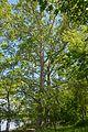 Nova Kahovka Centennial Sycamores 05 (YDS 0285).jpg