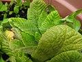 Nursery Web spider (27539581583).jpg