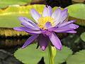 Nymphaea 'Kew's Stowaway Blues'-IMG 5498.jpg