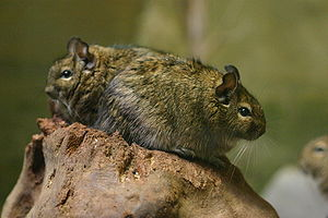 Infanticide in rodents - Common degus do not show this behaviour.