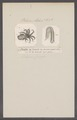Octopus cranchii - - Print - Iconographia Zoologica - Special Collections University of Amsterdam - UBAINV0274 090 03 0007.tif