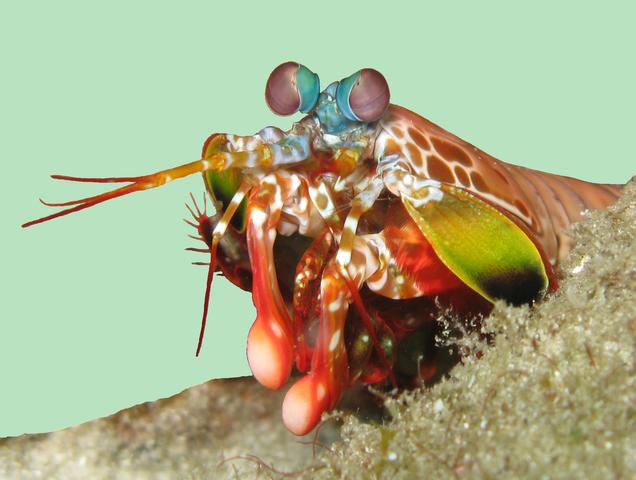 Mantis Shrimp Has the World's Fastest Punch 636px-Odontodactylus_scyllarus_2
