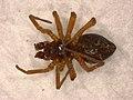 Oedothorax apicatus (37902316212).jpg