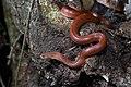 Oligodon huahin, Hua Hin kukri snake - Kaeng Krachan National Park (32625377028).jpg