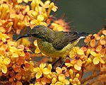Olive-backed Sunbird (Cinnyris jugularis) female - Flickr - Lip Kee (6).jpg