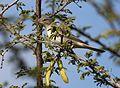 Olive-tree warbler, Hippolais olivetorum, at Zaagkuildrift Road near Kgomo Kgomo, Limpopo, South Africa (32751309903).jpg