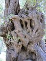 Olivenbaum in Gardiki 01.jpg