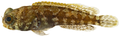 Opistognathus whitehursti - pone.0010676.g067.png
