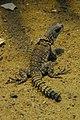 Oplurus cuvieri at Berlin acquarium (2532128616).jpg