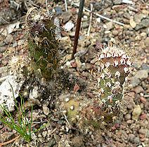 Opuntia basilaris treleasei 1.jpg