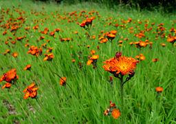 Orangerotes Habichtskraut Hieracium aurantiacum.JPG