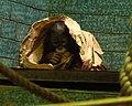 Orangutan-04-ZOO.Dvur.Kralove.jpg