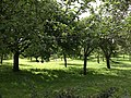Orchard, Berry Pomeroy - geograph.org.uk - 915453.jpg