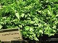 Organic curly parsley.jpg