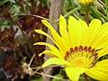 Original Flower Of Amarillo (25584083).jpeg