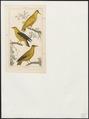 Oriolus galbula - 1838 - Print - Iconographia Zoologica - Special Collections University of Amsterdam - UBA01 IZ16400163.tif
