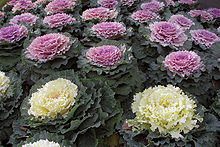 Kale - Wikipedia, the free encyclopedia