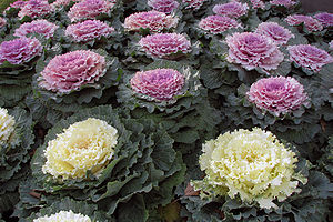 Kale - Ornamental kale in white and lavender