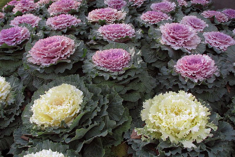 File:Ornamental Kale.jpg