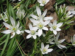 Ornithogalum umbellatum close-up2.jpg