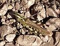 Orthoptera Gomphocerinae, Chorthippus binotatus (33095710191).jpg