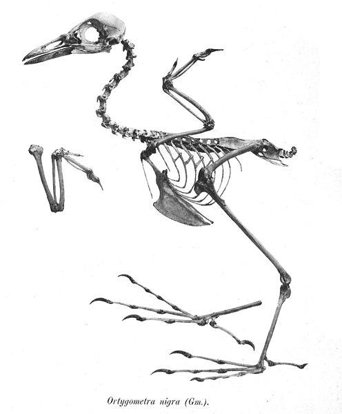 File:Ortygometra nigra 108.jpg