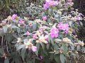 Osbeckia stellata.jpg