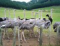 Ostriches on Waikato farm.jpg