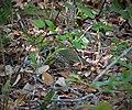 Ovenbird. Seiurus aurocapillus (38988033111).jpg