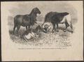 Ovis aries - 1700-1880 - Print - Iconographia Zoologica - Special Collections University of Amsterdam - UBA01 IZ21300023.tif