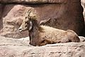 Ovis canadensis at the Denver Zoo 2012 03 12 003.jpg