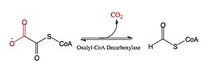 Oxalyl-CoA decarboxylase