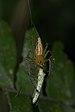 Oxyopes javanus-Kadavoor-2016-04-02-001.jpg